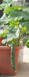 Cucumber_9